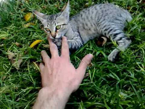 драка  руки с котом