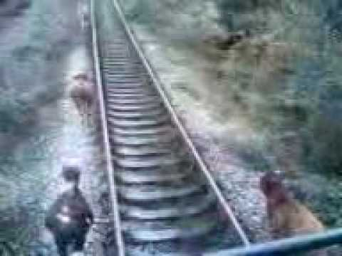 тупые Коровы бегут от тепловоза (cows running away from train)