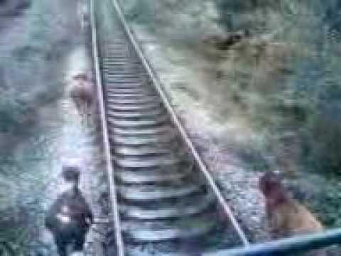 тупые Коровы бегут от тепловоза (cows running away from train)